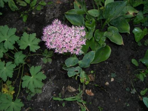 Herbstmargerite Chrysanthenum arcticum Roseum Herbstblüher